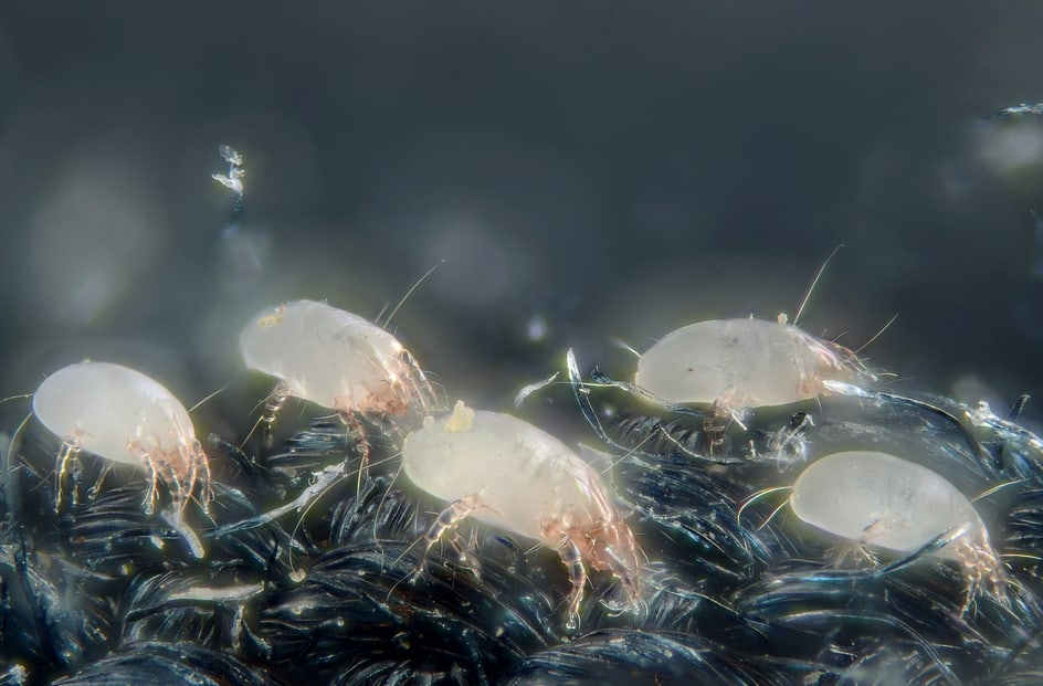 Dust Mites are destroyed by our mattress cleaners